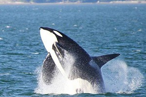 Puget Sound Express - whale watching day trips :: With low fares - and a 98% whale sighting success rate - reserve a seat on one of these comfortable boats for a day of whale watching. You'll never forget the experience.