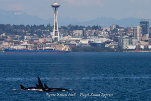 Whale Watching Tours - Puget Sound Express