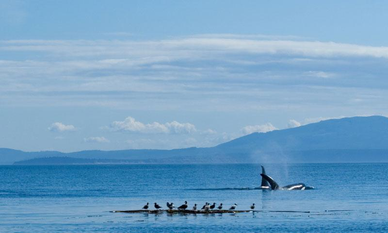Whale Watching near the San Juan Islands