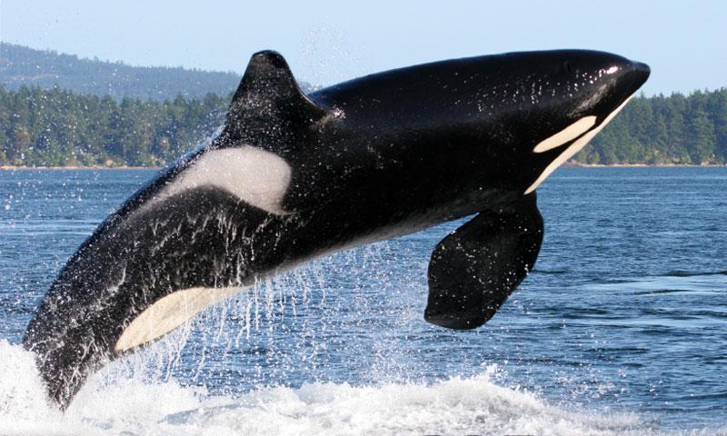 Whale Watching near the San Juan Islands