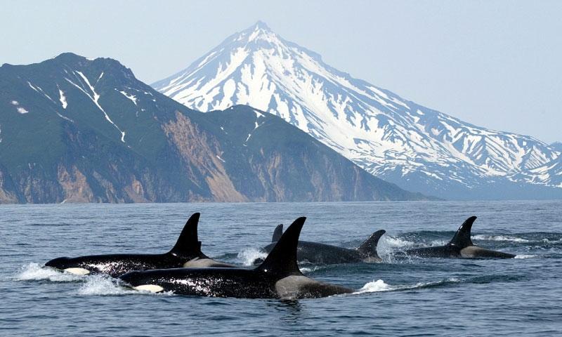 San Juan Islands Whale Watching Tours Orcas Lopez Shaw