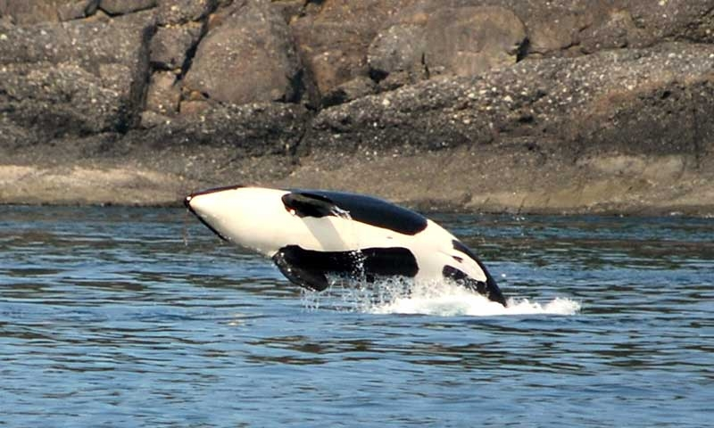 Whale Watching Tour in the San Juan Islands